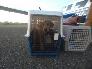 Picking up Labrador Retrievers in Humberside, UK